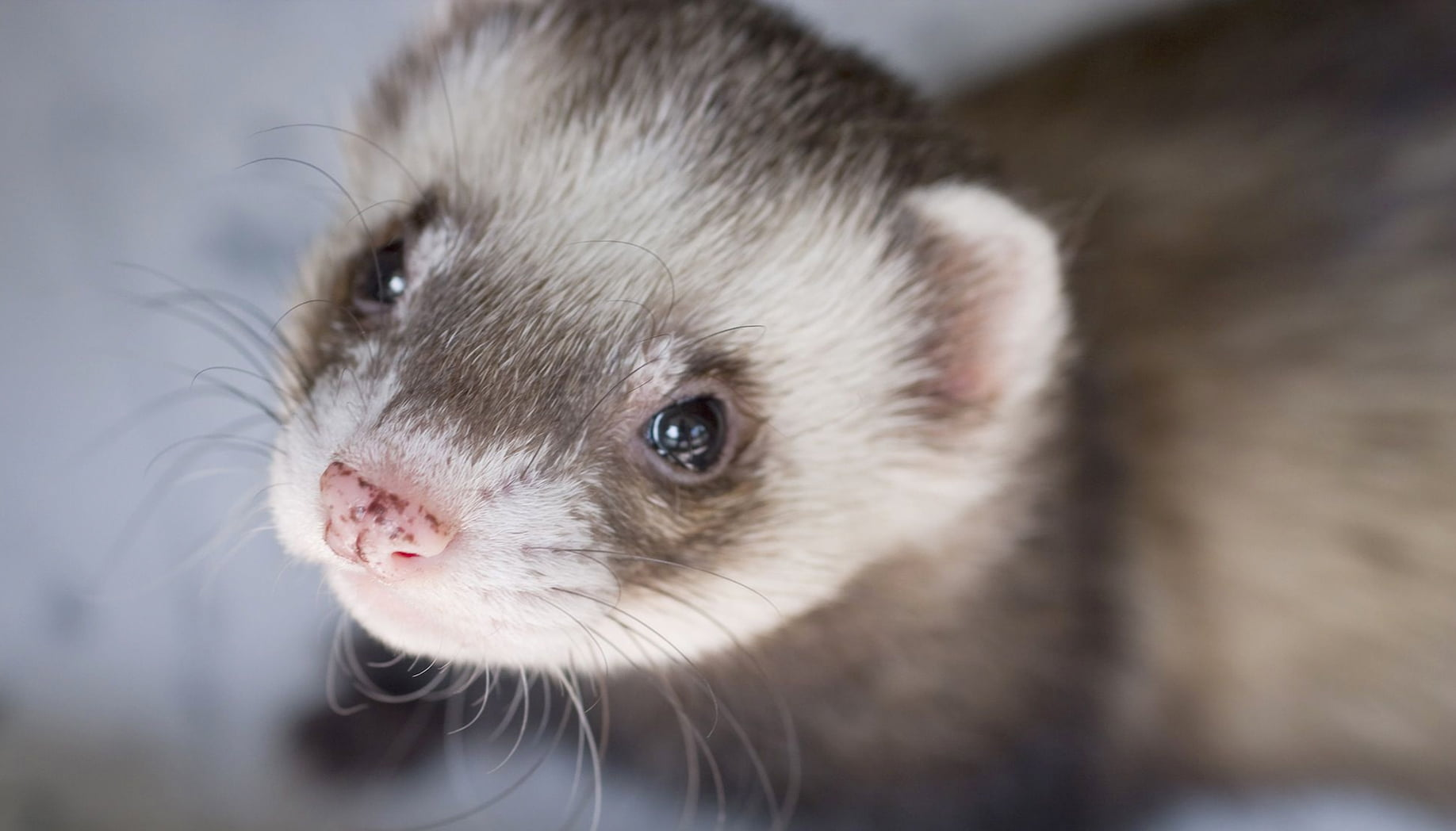 You'll Be Amazed at How This Ferret Found a Job